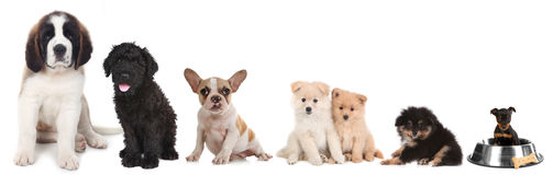 Different Breeds of Puppy Dogs on White Royalty Free Stock Images