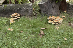 Different bunches of mushrooms. A horizontal frontal view of different bunches of mushrooms in a garden with some space for a message Stock Photography