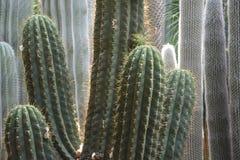 Different cacti close-up stock photos