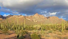 Different Cactus Species In Organ Pipe Cactus National Monument, Arizona, USA Stock Image