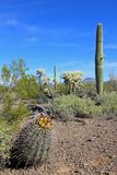 Different cactus species in Organ Pipe Cactus National Monument, Arizona, USA. Different cactus species in Organ Pipe Cactus National Monument, Ajo, Arizona, USA Stock Image