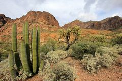 Different cactus species in Organ Pipe Cactus National Monument, Arizona, USA. Different cactus species in Organ Pipe Cactus National Monument, Ajo, Arizona, USA stock photography