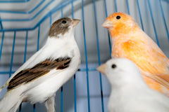 Different canaries. (Domestic canary) - white and red canary royalty free stock photo