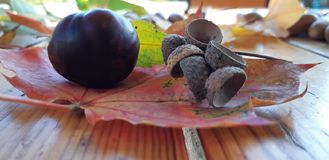 Different chestnuts and acorns on wooden background. royalty free stock photography