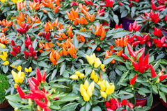 Different chili pepper plants Stock Photo