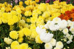 Different chrysanthemums. Stock Photo