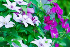 Different clematis Stock Photos