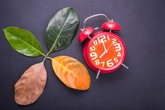 Different color and age of leaves of the jackfruit tree leaves f. Rom fresh green to dry brown and red alarm clock on black background. For time and environment Stock Photo