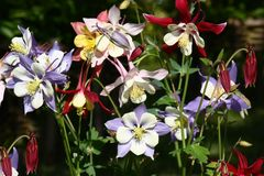 Different color of a aquilegia. Stock Images