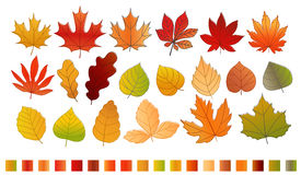 Different color autumn leaves vector collection Royalty Free Stock Image
