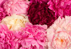 Different color peonies Royalty Free Stock Photos