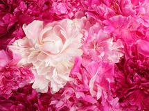 Different color peonies Stock Photography