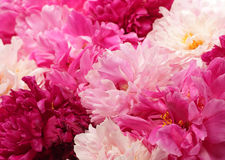 Different color peonies Stock Photo