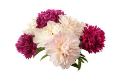 Different color peonies Royalty Free Stock Image