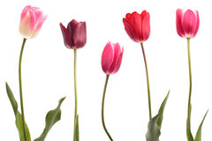 Different color tulips Royalty Free Stock Photo
