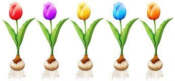 Different color of tulips. Illustration Stock Images