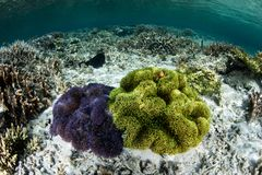 Different Colored Anemones in Raja Ampat royalty free stock photos