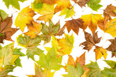 Different colored autumn leaves Royalty Free Stock Photos