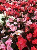 Different colored begonias. Flats of different colored begonias growing Stock Images