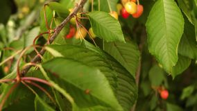 Red cherries on a branch. With different colored cherries, in slow motion stock video footage