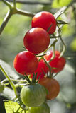 Different Colored Cherry Tomatoes Stock Image