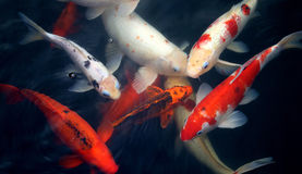 Different colored fish carp Stock Photos