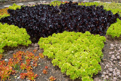 Different colored succulents planted in rows Royalty Free Stock Photo