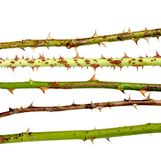Different colored thorns Stock Photo