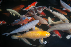 Different colorful koi fishes Stock Photo