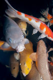 Different colorful koi fishes Stock Images