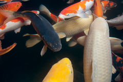 Different colorful koi fishes Stock Image