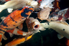 Different colorful koi fishes Royalty Free Stock Photo