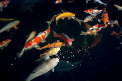 Different colorful koi fishes Royalty Free Stock Images