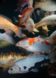 Different colorful koi fishes Stock Photos
