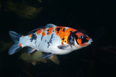 Different colorful koi fishes Royalty Free Stock Photography