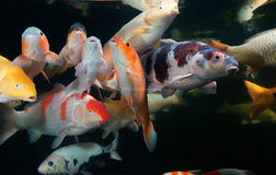 Different colorful koi fishes Stock Photography