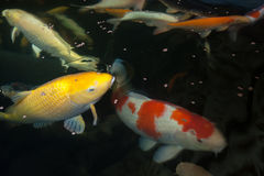 Different colorful koi fishes Royalty Free Stock Photos
