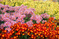 Different colors chrysanthemums. Royalty Free Stock Photos