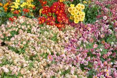 Different colors chrysanthemums. Stock Image
