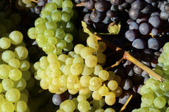 Different colors of grapes Stock Images