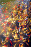 Different colors koi carps Stock Photos