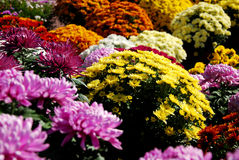 Different colors and varieties of chrisanthemums Royalty Free Stock Image