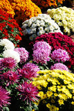 Different colors and varieties of chrisanthemums Royalty Free Stock Images