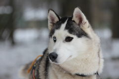 A different colour eyes Siberian husky in harness. Stock Photo