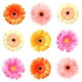 Different colour gerberas. On white, purple, pink, avalanche white, orange Stock Image