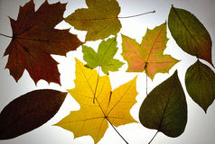 Different colour leaves Royalty Free Stock Photo