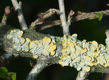 Yellow - Green - Blue lichen on a baranch Stock Photography