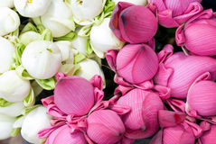 Different coloured lotus flowers Stock Photo