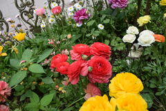 Different colur roses Stock Photography
