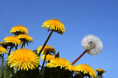 Different concepts with dandelions Royalty Free Stock Image